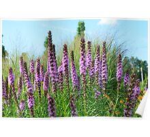 Lavender Flowers, Blue Sky Poster