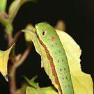 Caterpillar by Michelle Callahan