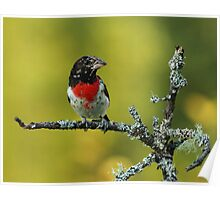 Rose-breasted Grosbeak on Lichen Covered Branch Poster