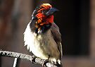 Black-collared Barbet /Rooikophoutkapper by Elizabeth Kendall
