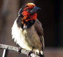 Black-collared Barbet /Rooikophoutkapper by Elizabeth Kendall
