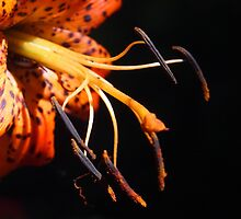 Tiger Lily Detail by Linda  Makiej Photography