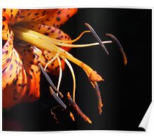 Tiger Lily Detail Poster