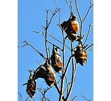 Grey-Headed Flying Foxes Photographic Print