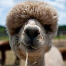 An Island Alpaca - Martha&#x27;s Vineyard by Peter Kruger