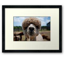 An Island Alpaca - Martha's Vineyard Framed Print