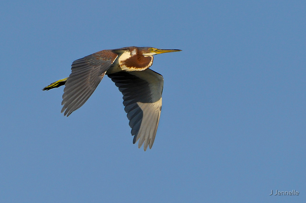 Tricolor Heron Returning to Roost In Golden Light by Joe Jennelle