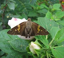 Silver spotted skipper by gelillc