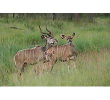 Kudu Family Photographic Print