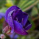 morning dew by Helenvandy