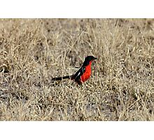 A flash of red in the grass Photographic Print