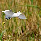 Snowy Egret Landing in Marsh by Joe Jennelle