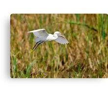 Snowy Egret Landing in Marsh Canvas Print