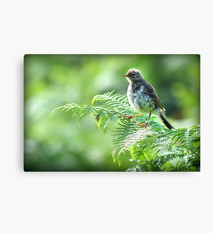 Fledgling Meadow Pipit. Canvas Print