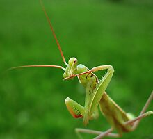 European Praying Mantis ( Mantis religiosa) by Istvan froghunter