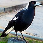 AUSTRALIAN MAGPIE - Waiting Patiently.  by Toni Kane