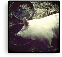 Cecil County Pig Napping Canvas Print