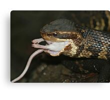 Dinner - Cottonmouth eating a White Mouse Canvas Print