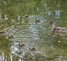 Mallard Duck and Ducklings by Jamie  Green