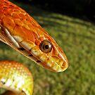 Fluffy - corn snake by aprilann