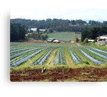Strawberry fields Dandenong Ranges  Canvas Print