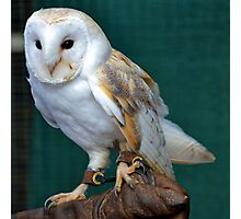 Barn Owl ...........Escot. Devon UK Photographic Print