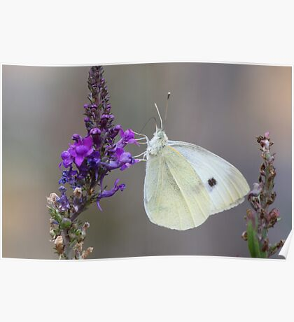 Cabbage white not on a cabbage Poster