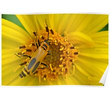 Goldenrod Soldier Beetle on Cup Plant Flower Poster