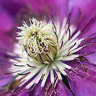 Macro Purple Clematis Flower by Pixie Copley LRPS