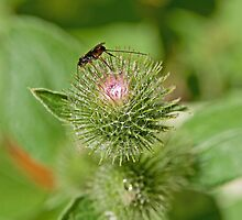 Burdock Braconid by Mike Oxley