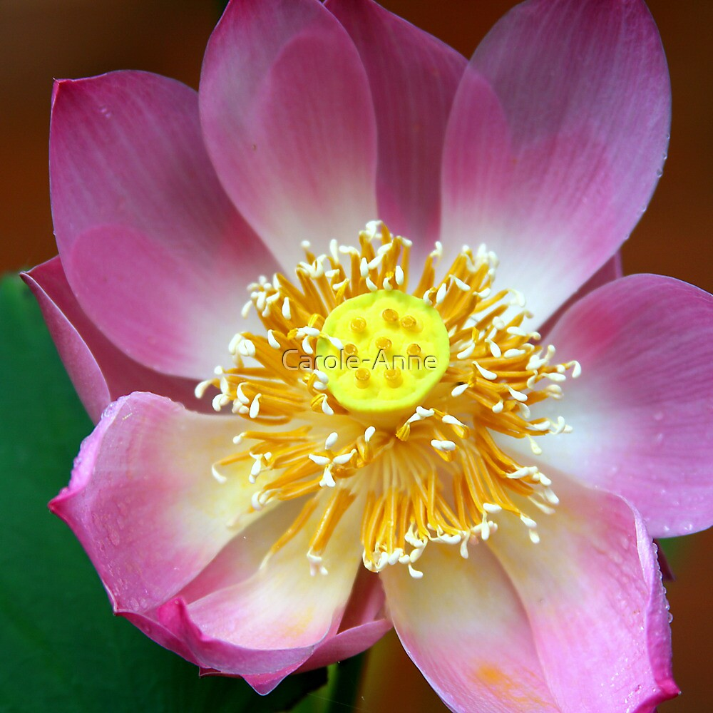 Large Lotus Flower, Thailand  by Carole-Anne
