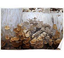 Birch and Fungi 4 Poster