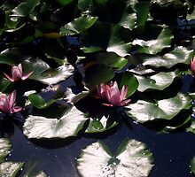 Waterlilies Pool - Sigurtà - Italy by sstarlightss
