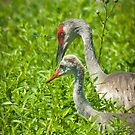 """Watching Over"" - Sandhill Crane Keeping Eye On Juvenile by John Hartung"