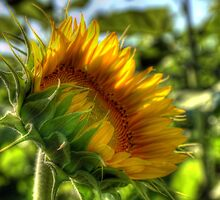 The Sunflower by Monica M. Scanlan