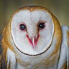Cute Barn Owl  by Daniel  Parent