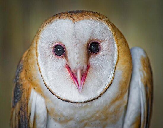 Cute Barn Owl  by Daniel  Parent