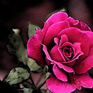 Antique Love Rose by kkphoto1