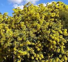 Acacia baileyana, Cootamundra Wattle native. by Rita Blom
