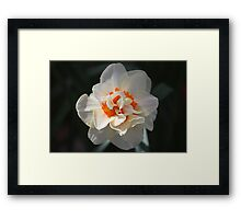 Blooming Double Daffodil  Framed Print