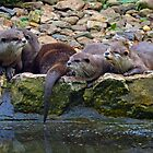 Asian Otters at Escot. Devon UK by lynn carter
