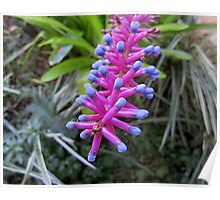 The  Bromeliad Poster