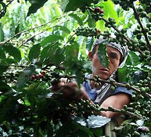 Coffee picker, Colombia by J Forsyth