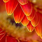 Festive gerberas by Celeste Mookherjee