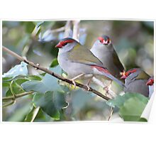 Red-browed Finch - Neochmia temporalis Poster