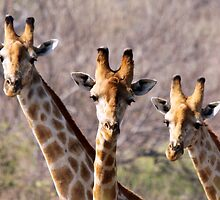 Three Male Giraffes by JenniferEllen