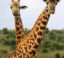 Two Male Giraffes by Jennifer Sumpton