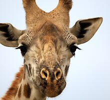 Male Giraffe Portrait by Jennifer Sumpton