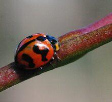 Ladybug macro by BigAndRed