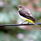 Bird on wire by Shiju Sugunan